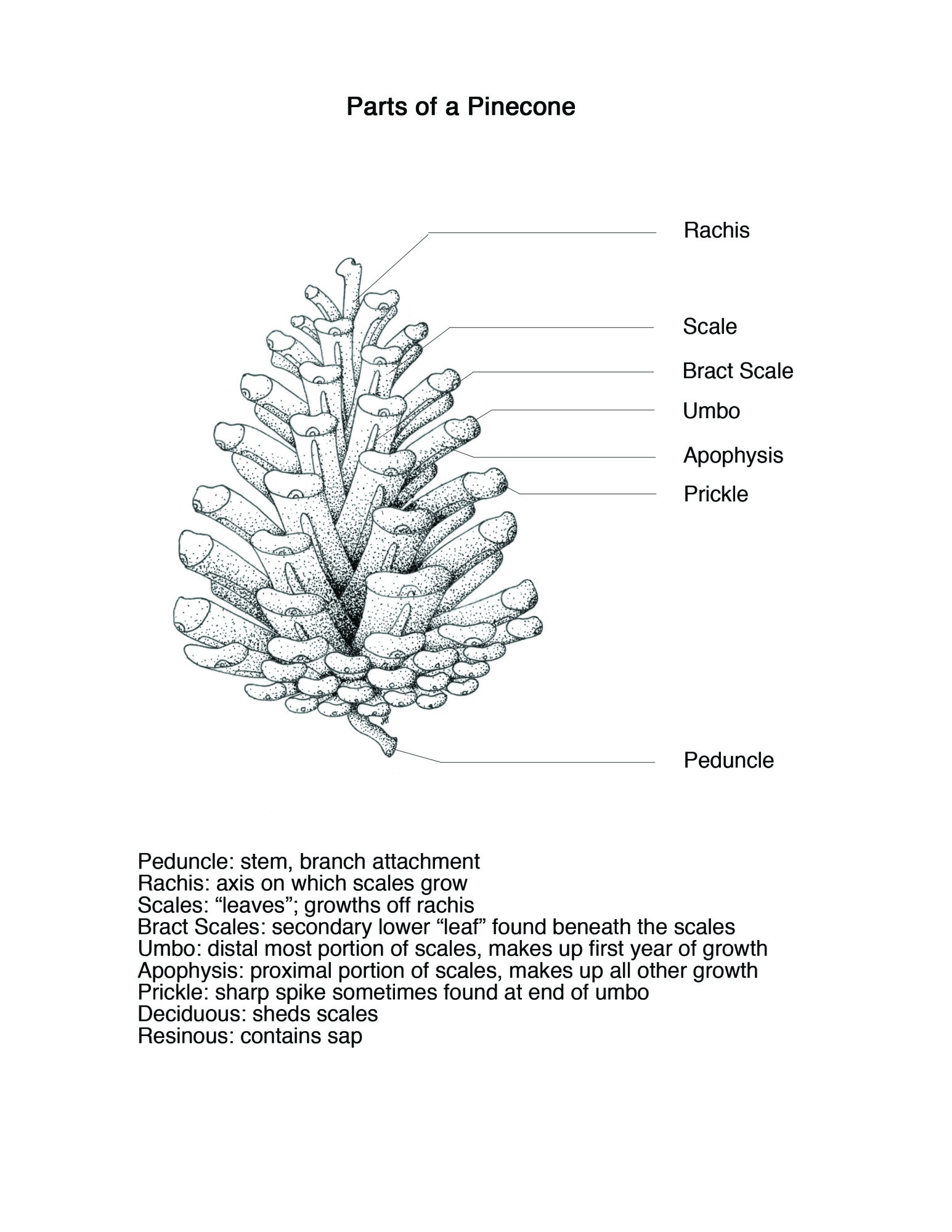 Parts Of A Pinecone