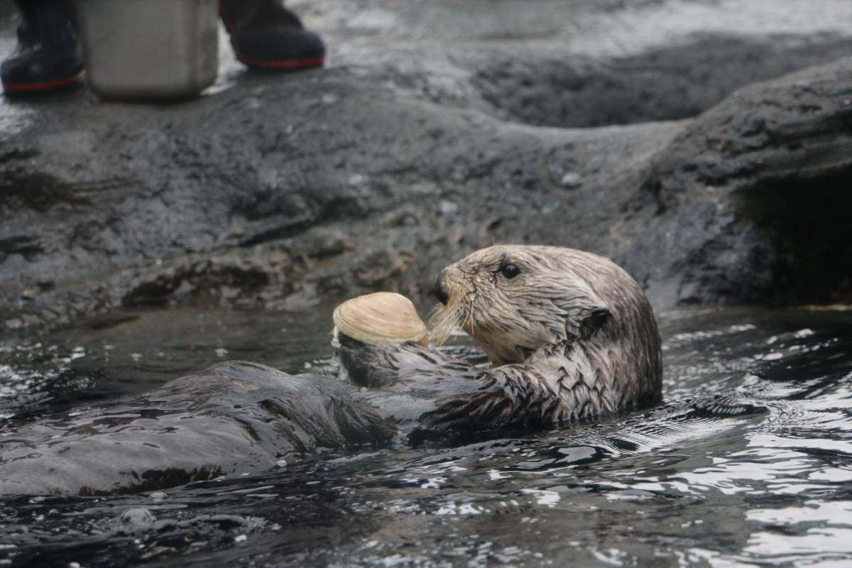 Photo of Adaa the sea otter